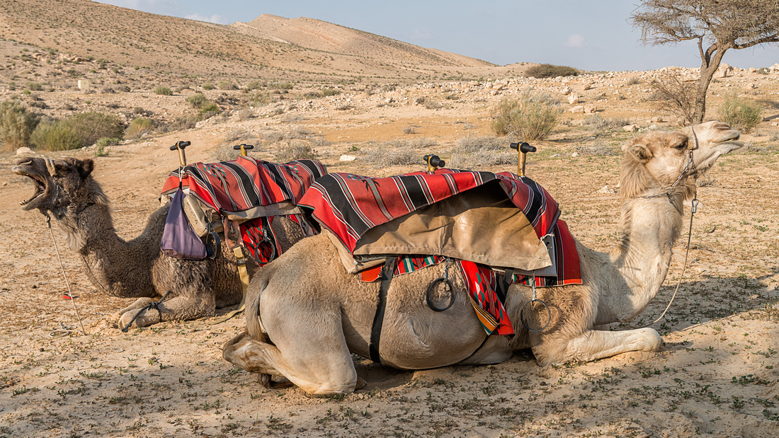 The Negev Camel Ranch - Oasis