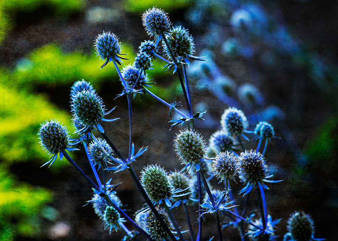 Blue Sea Holly - Cheekwood, Nashville